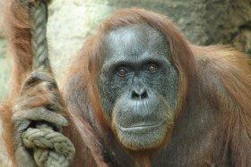 Orang Utan, Zoo Frankfurt / Foto: C. Goldner