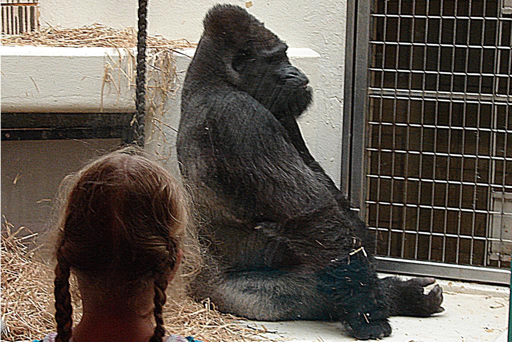 61d8393442acb Gorilla Fritz ist tot