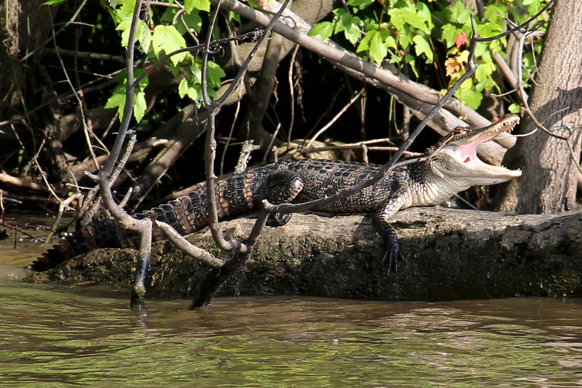 Alligator in den Sümpfen von Luisiana, Foto: pixabay.com (Pixabay License)
