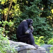 Bonobo; Quelle: http://www.morguefile.com/archive/?display=61628&