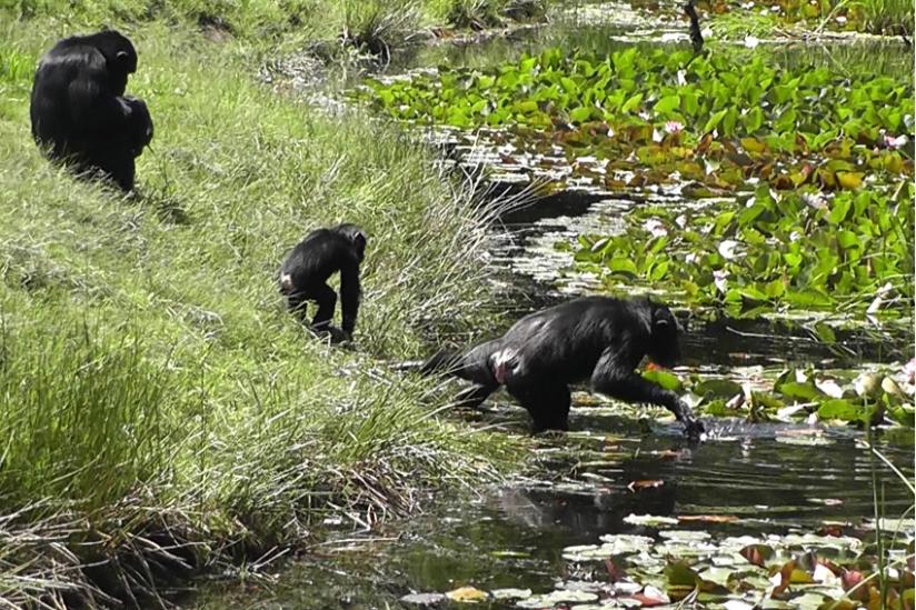 """Laut Zoodirektor Perret gehen Schimpansen """"niemals freiwillig ins Wasser"""""""