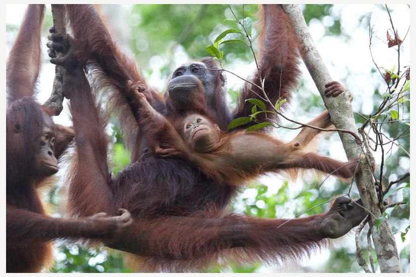"""Orang-Utans im Camp Leakey tragen ein """"Gen-Cocktail"""" in sich, der in freier Wildbahn unter normalen Umständen nicht vorkommen würde."""