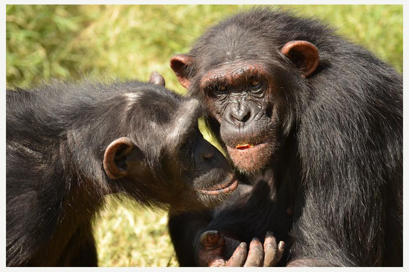 Auch bei Freundschaften unter Schimpansen spielt Vertrauen eine wichtige Rolle.