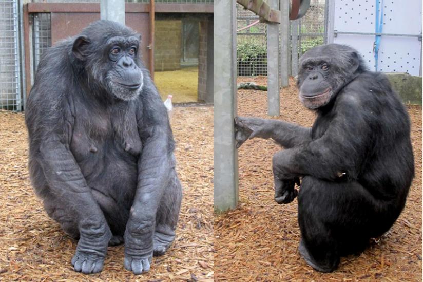 Schimpansen Uschi (34) und Kaspar (32)