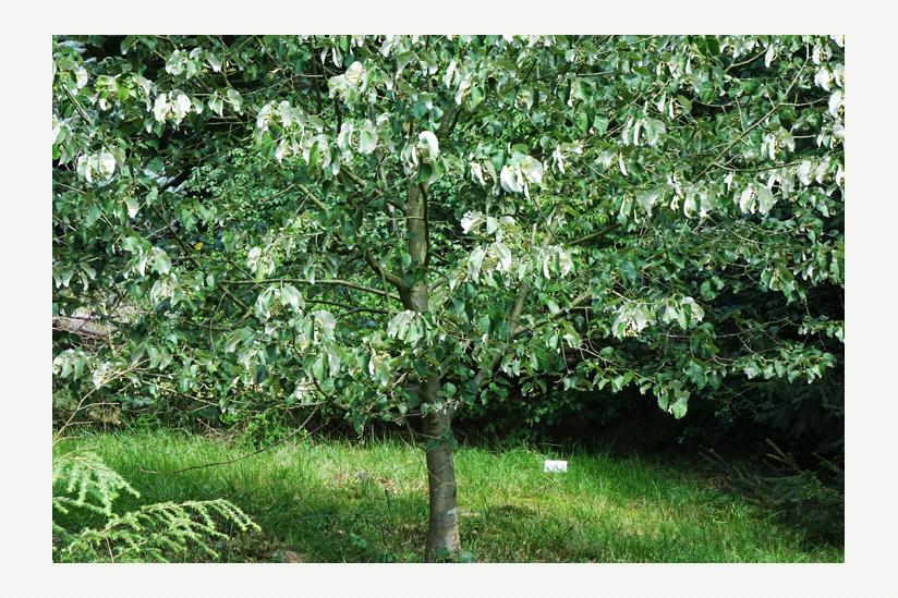 Die Winterlinde mit ihren Herzblättern - der Baum des Jahres 2016