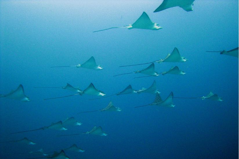 Adlerrochen (a. narinari), Malediven