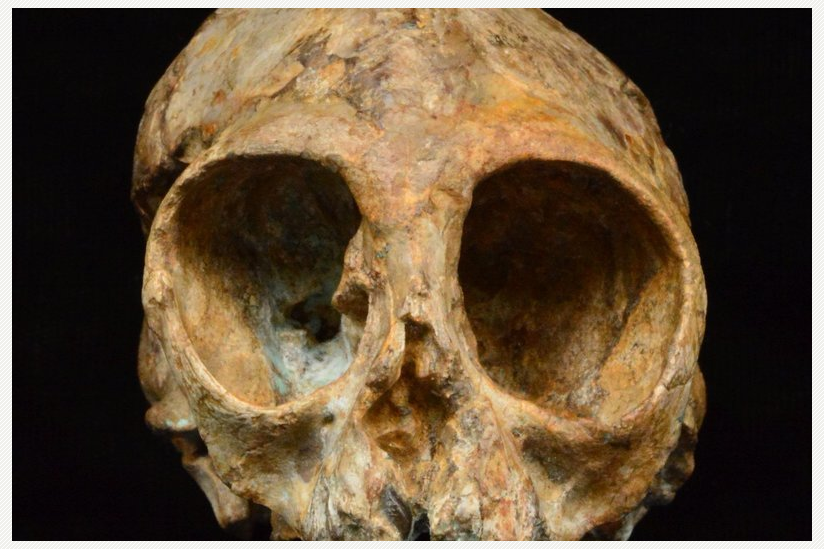 Alesi, der Schädel der neuen ausgestorbenen Menschenaffenart Nyanzapithecus alesi (KNM-NP 59050).