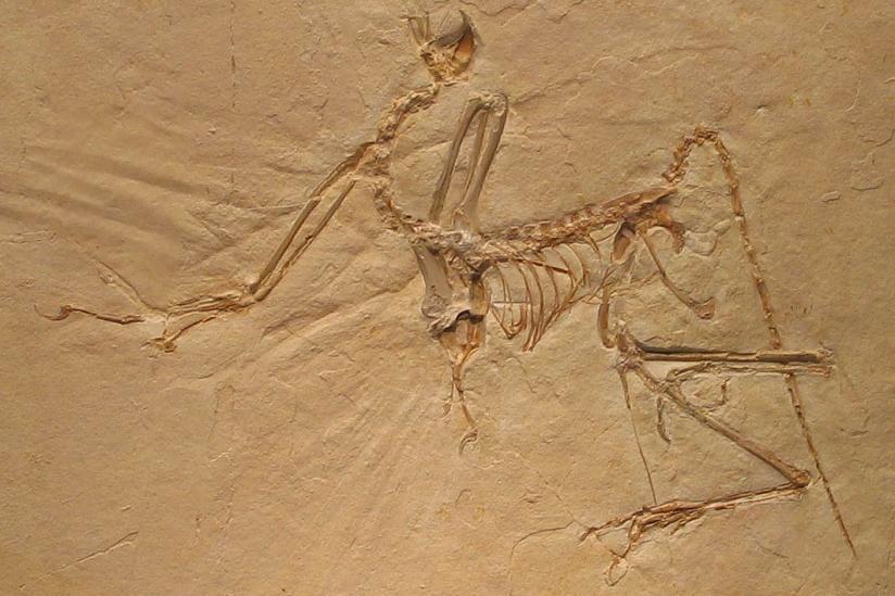 Archaeopteryx bavarica im Münchner Paläontologischen Museum