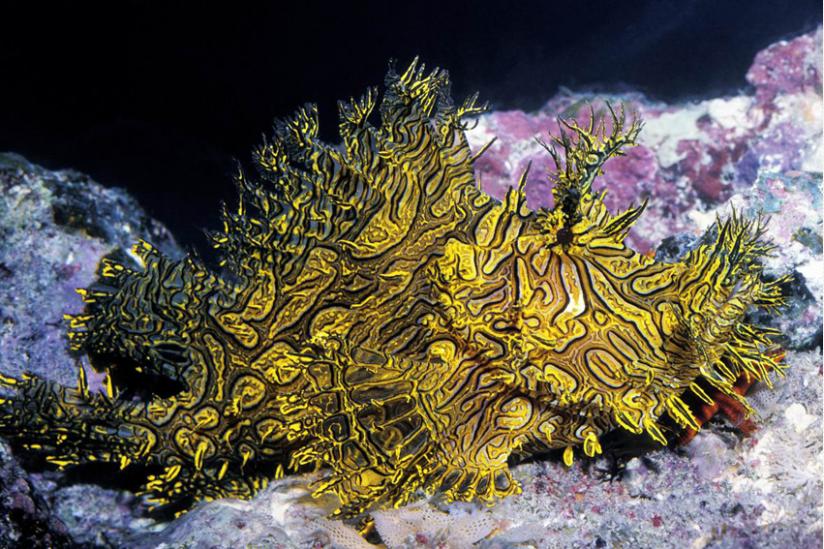Aus der Gruppe der Scorpionsfische, der Schluckspecht Rhinopias aphanes
