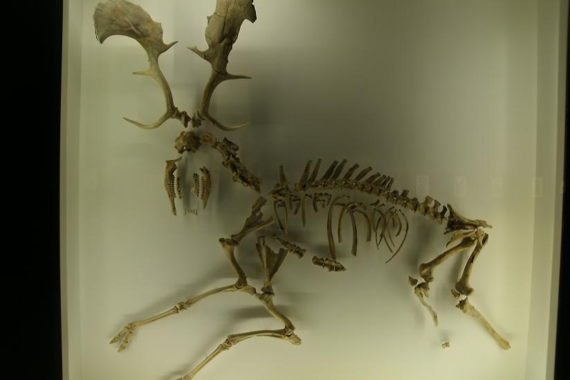 Bei Halle ausgegrabener europäischer Riesenhirsch - Ausstellung im Berliner Naturkundemuseum.