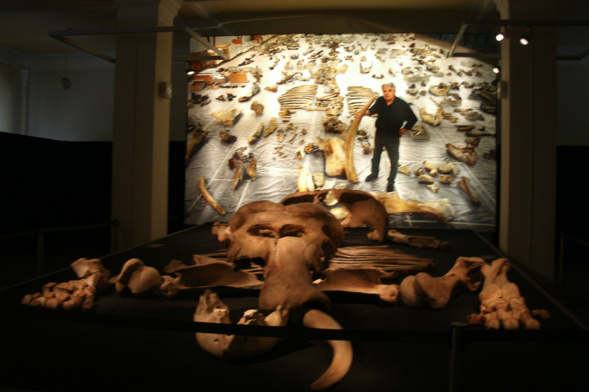 Bei Halle ausgegrabener europäischer Waldelefant - Ausstellung im Berliner Naturkundemuseum.