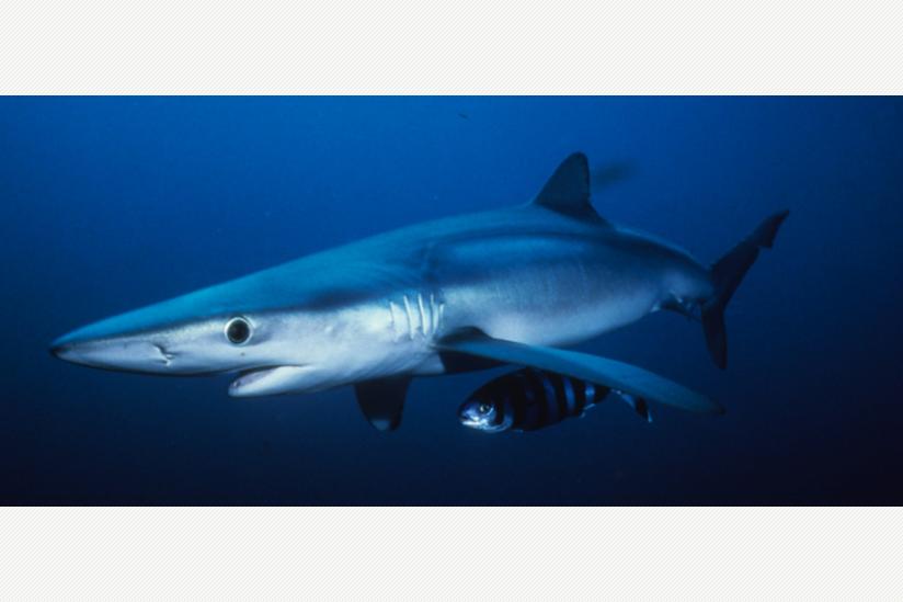 Blauhai, Prionace glauca, Kalifornien