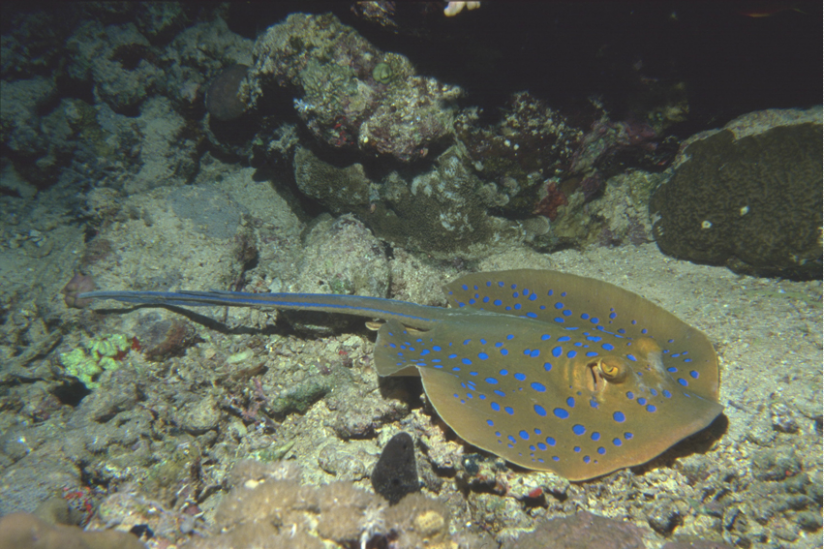 Blaupunktrochen (t. lymma), Rotes Meer