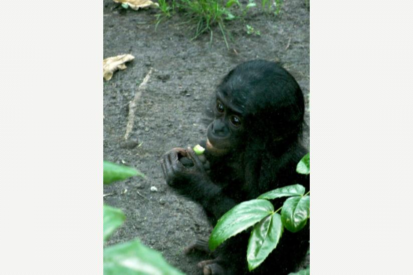 Bonobo-Mädchen im Berliner Zoo