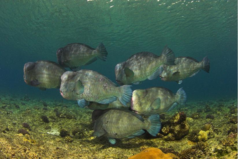 Büffelpapageifisch, Bolbometapon muricatum im Roten Meer