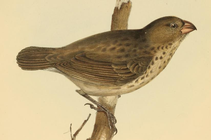 Dickschnabel-Darwinfink (Camarhynchus crassirostris)