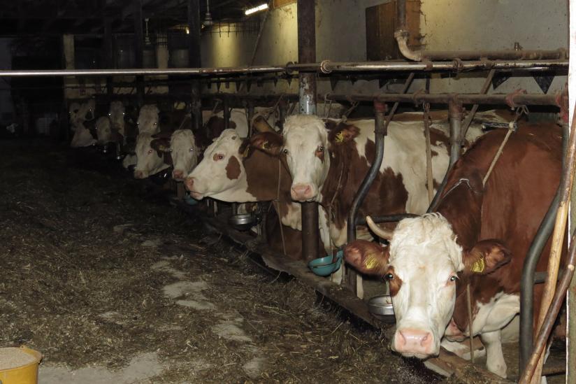 Noch dürfen Rinder angebunden gehalten werden