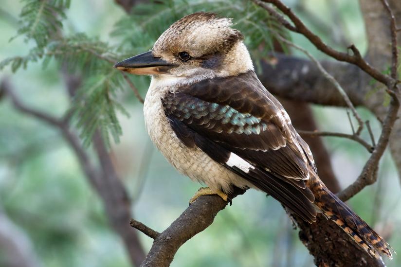Kookoburra  (Dacelo novaeguineae)