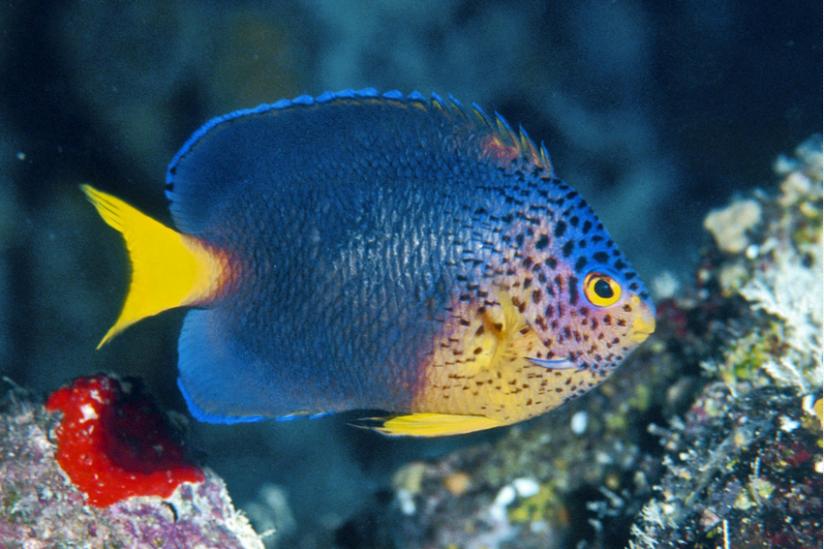 Der blaue Mauritius-Zwergkaiserfisch