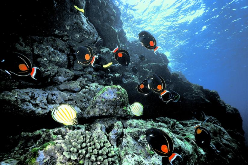 Der Blickfang an den Korallenriffen um Hawaii,  Doktorfisch Acanthurus achilles