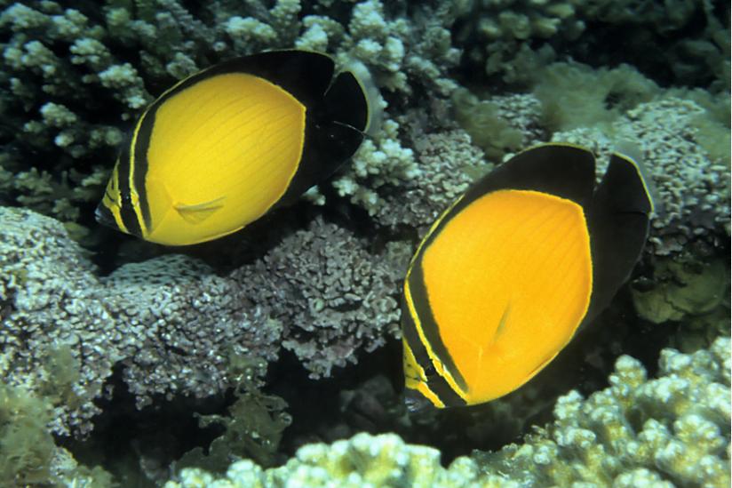 Die schönste Falterfischart im gesamten Indik, hier vor Oman, Chaetodon melapterus