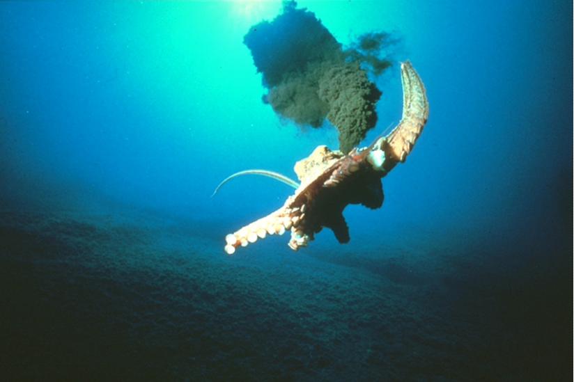 Fliehender Krake