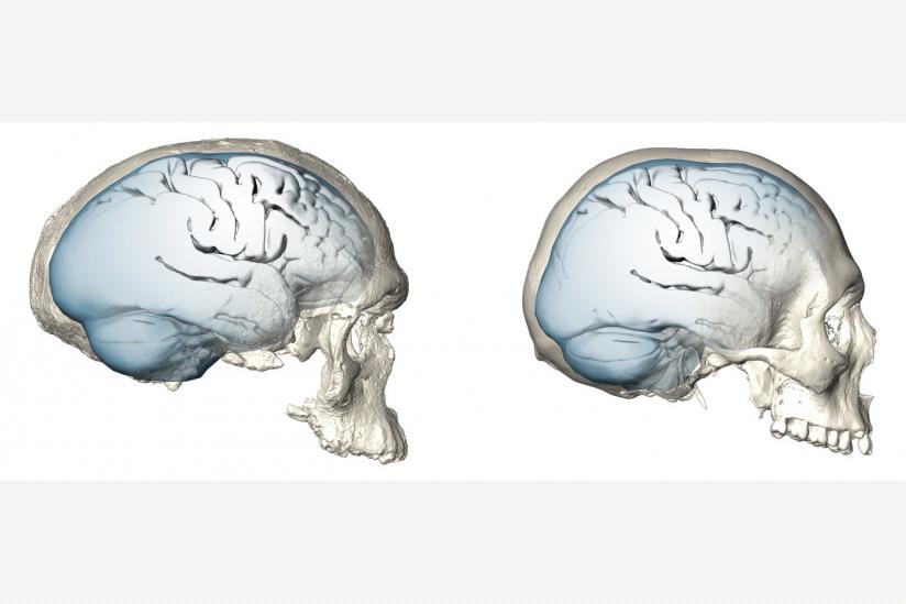 Langsame und späte Evolution des menschlichen Gehirns   hpd