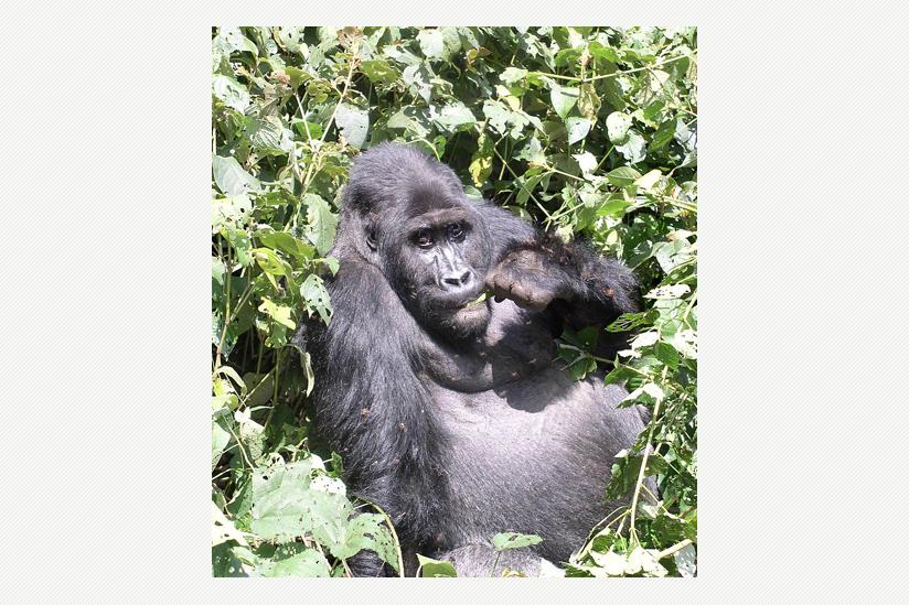 fressende Tiefland-Gorilla-Dame