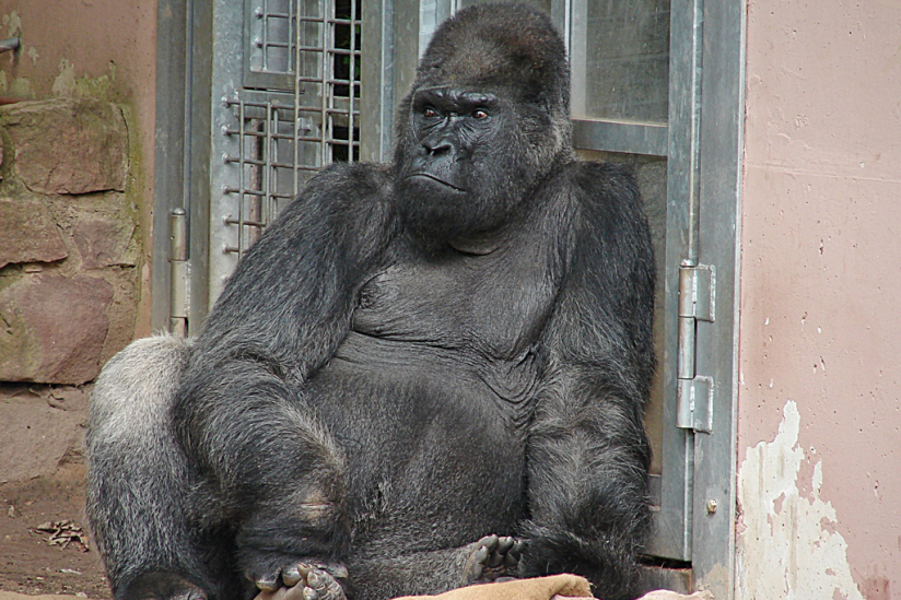 18be5e90948ce Gorilla Fritz im Nürnberger Tiergarten.