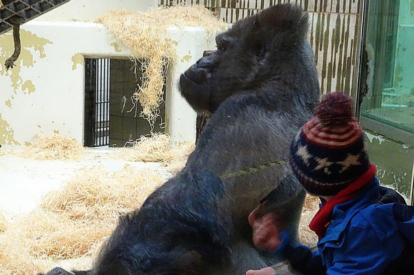 Gorilla Fritz im Nürnberger Tiergarten.