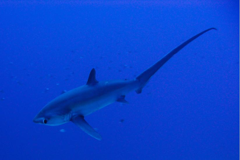 Fuchshai, Alopias pelagicus, Rotes Meer