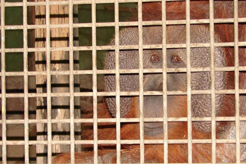 Orang-Utan hinter Gittern.