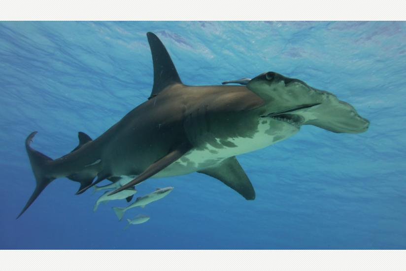 Großer Hammerhai, Sphyrna mokarran, Bahamas