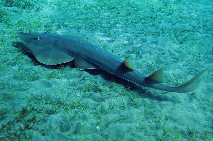 Halb Rochen, halb Hai: Gitarrenrochen (r. halavi), Rotes Meer