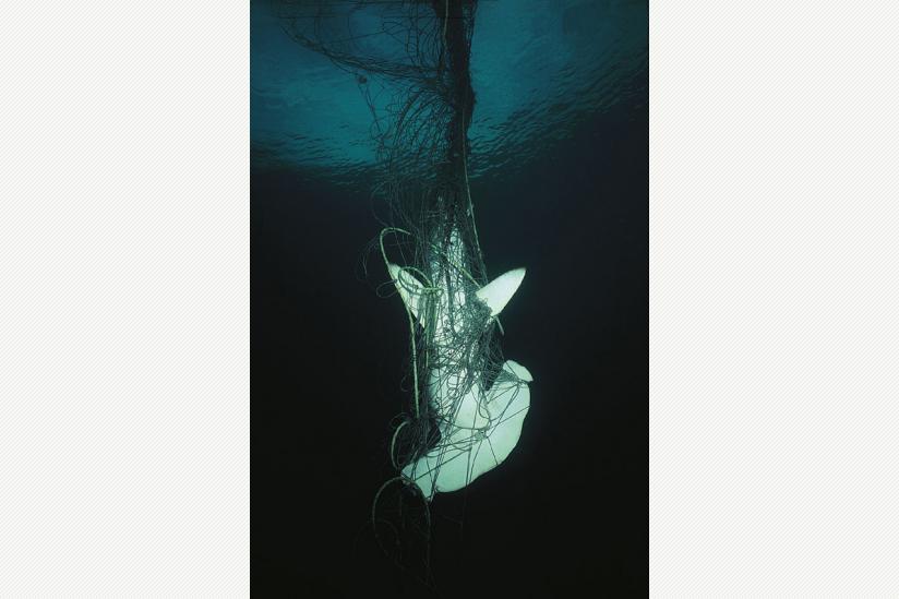 Hammerhai in einem der vielen Treibnetze