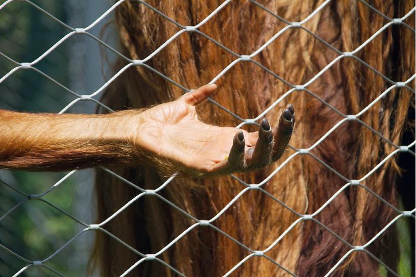 Hand eines Orang-Utans (aufgenommen im Berliner Zoo)