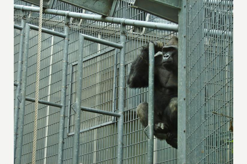 Gorilla im Kölner Zoo, in dem er laut Ex-Direktor Nogge besser aufgehoben ist, als in der Natur...