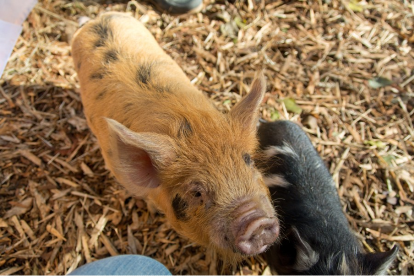 Kunekune-Schwein mit Ferkel