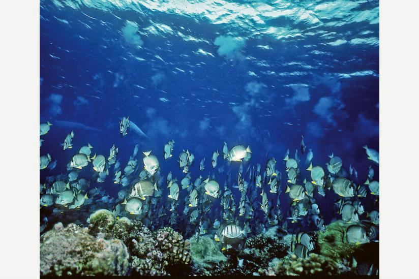 Massenablaichen des Doktorfische A.guttatus -- der Laich (Eier und Sperma) ist gut zu sehen