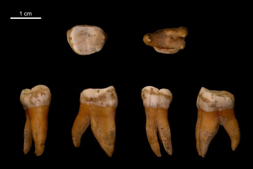 Großer Backenzahn aus dem Oberkiefer eines Neandertalers aus Spy in Belgien.