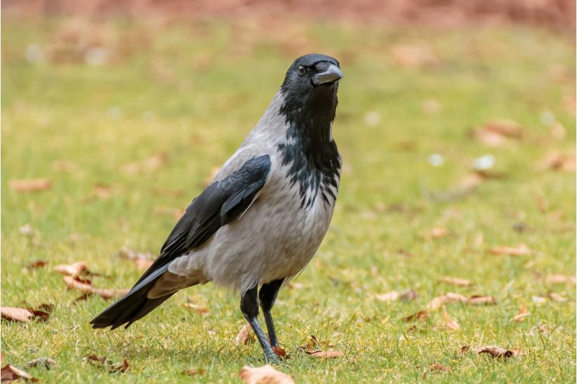 Nebelkrähe (Corvus cornix)