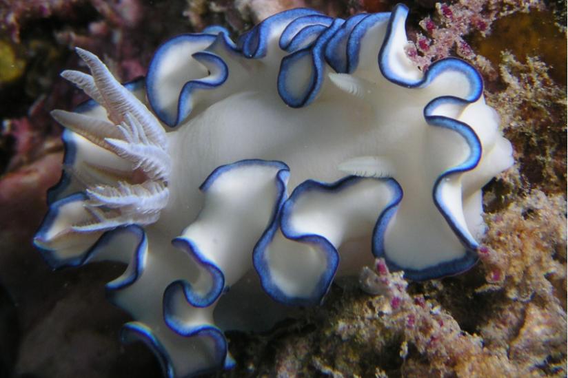 Noch unbeschriebene Sternschnecke im Roten Meer