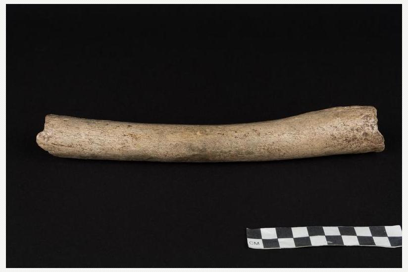 Dieser Oberschenkelknochen eines Neandertalers lieferte den Hinweis, dass unter dessen Vorfahren Urmenschen aus Afrika gewesen sein dürften, die eng mit modernen Menschen verwandt waren.