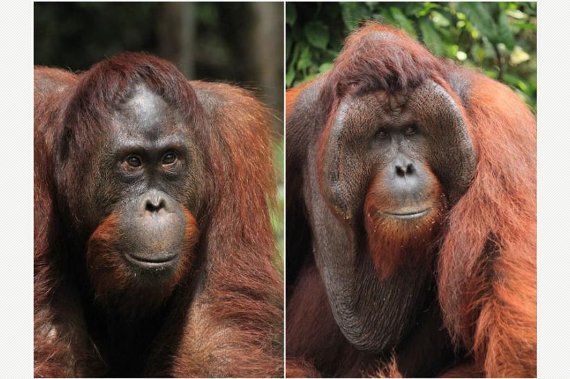 Niederrangiges Orang-Utan Männchen ohne Backenwülste (links) und dominantes Männchen mit Backenwülsten (rechts), Tanjung Puting Nationalpark, Indonesien.