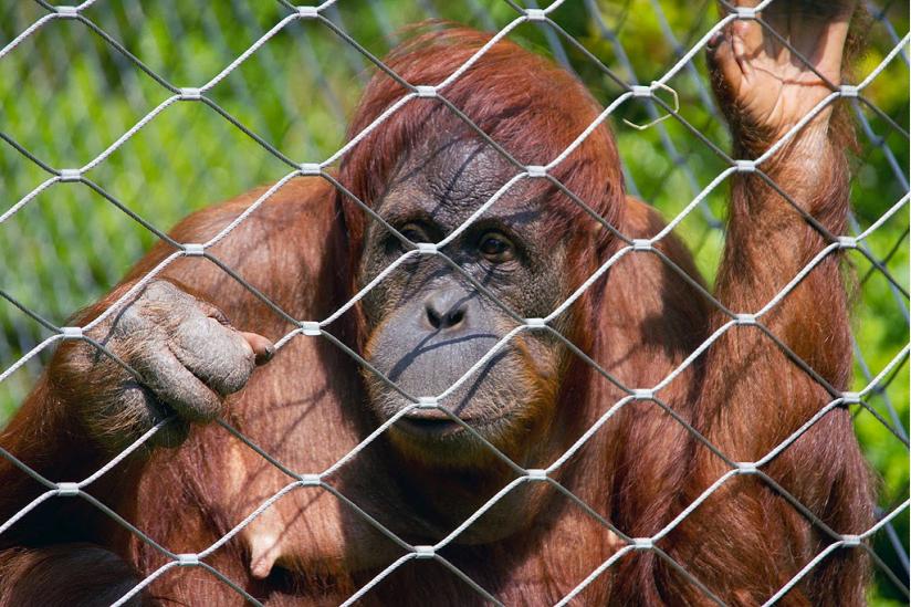 Orang-Utan-Dame im Berliner Zoo