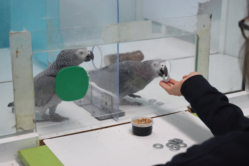 In den Verhaltensexperimenten erhalten die Papageien Metallmarken, die sie dann gegen Futter eintauschen können.