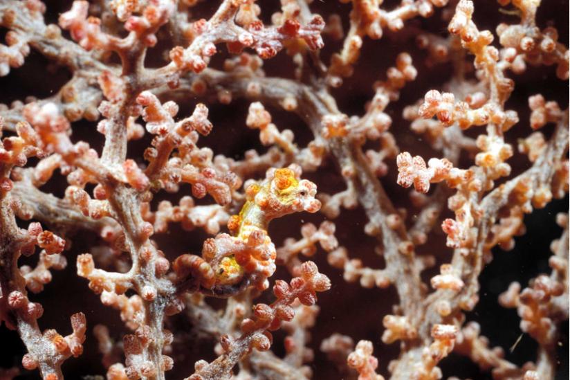 Perfekt seinem Wirt angepaßt, Hippocampus bargibanti vor Papua Niugini