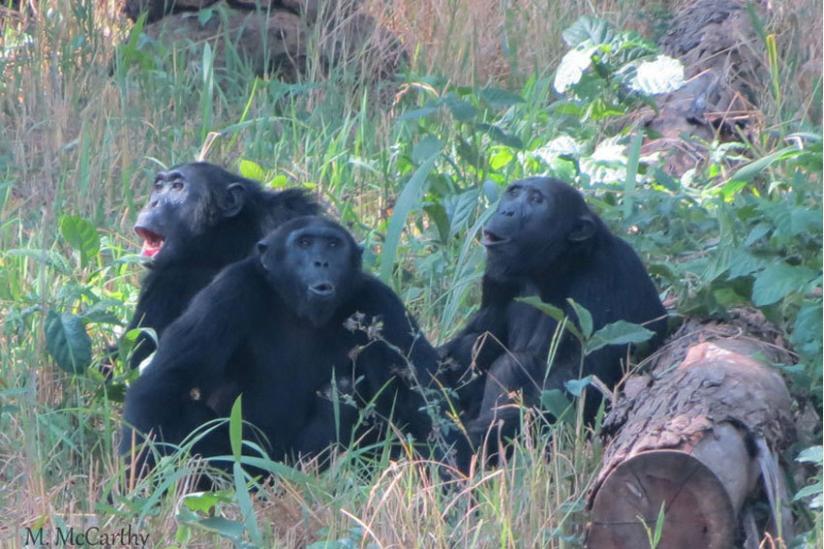 Drei männliche Schimpansen aufgeregt rufend auf einer Lichtung, Hoima-Distrikt, Uganda.