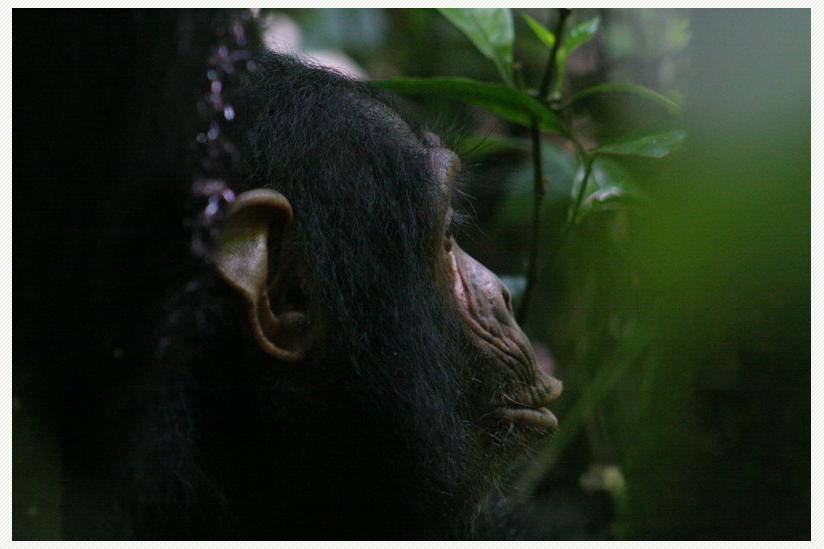Schimpansen sind höchst kommunikative Tiere. Sie teilen ihren Artgenossen aber nur das mit, was diese noch nicht wissen.