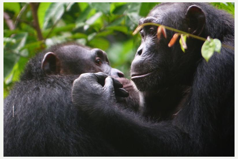 Schimpansen bei der gegenseitigen Fellpflege.